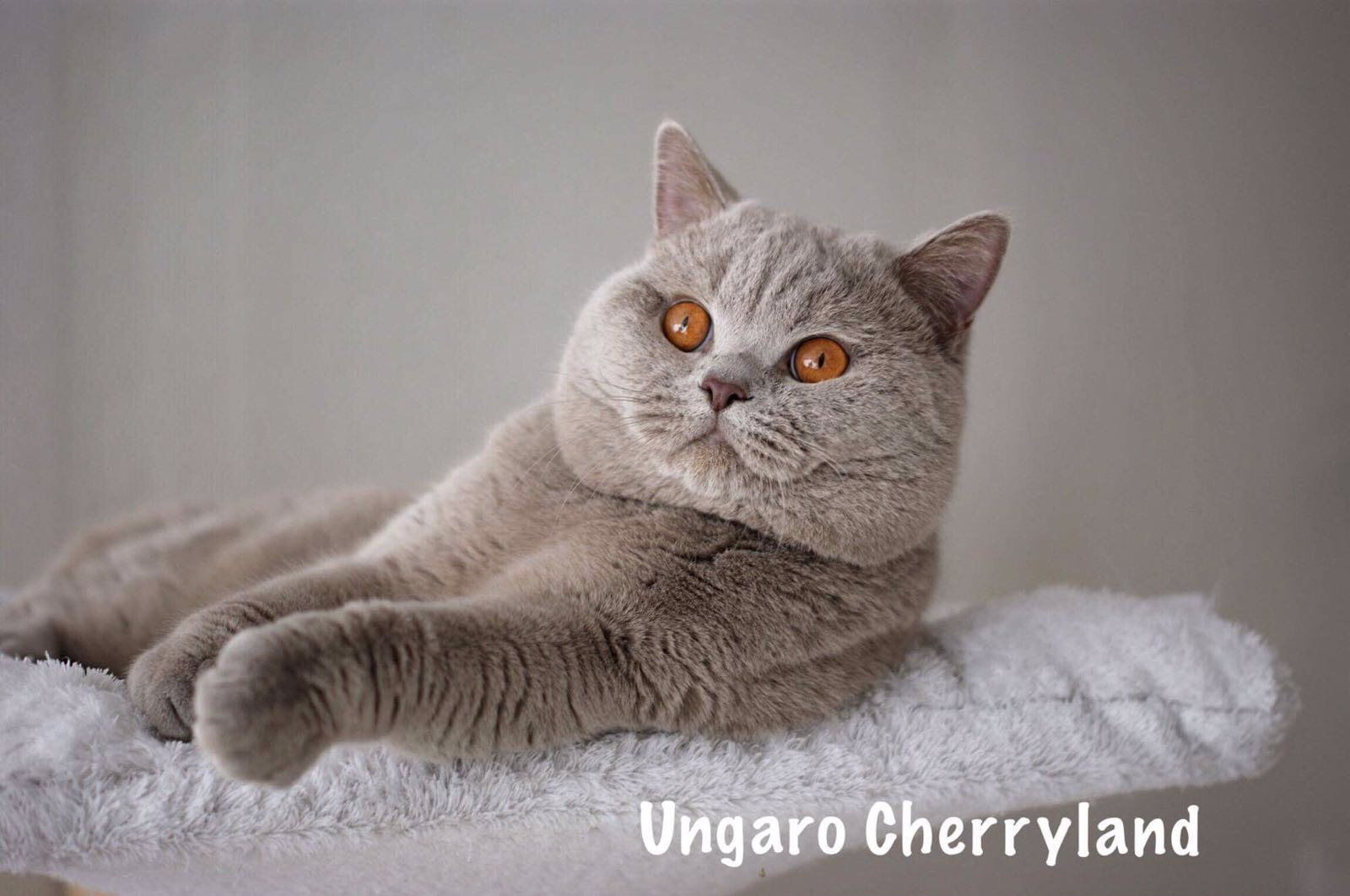 ungaro-cherry-1
